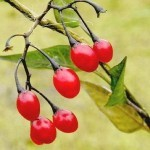 Паслен сладко-горький, ягоды
